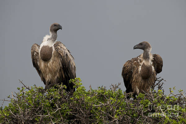 Craw Wall Art - Photograph - Vultures With Full Crops by John Shaw