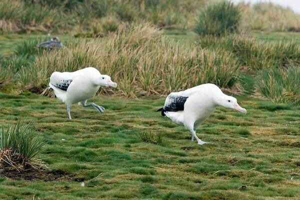 Wanderings Photograph - Wandering Albatross Pair by William Ervin/science Photo Library