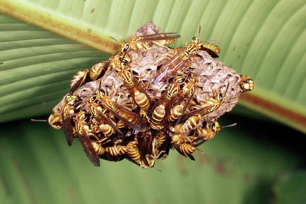 Heliconia Wall Art - Photograph - Wasp Nest Under A Leaf by Dr Morley Read/science Photo Library
