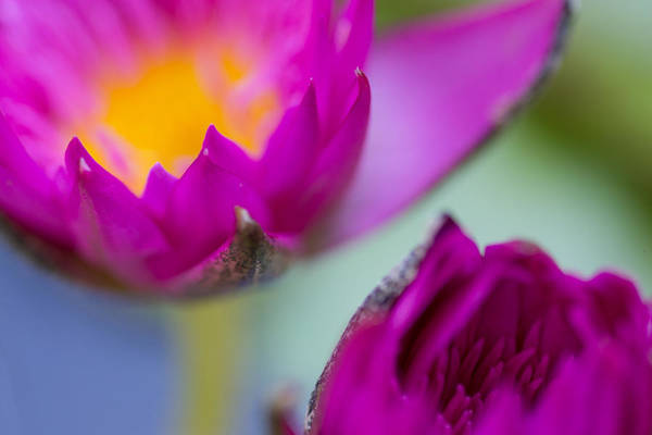 Photograph - Waterlily Dream by Priya Ghose