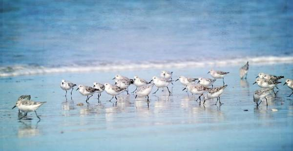Sandpiper Photograph - We Are Family by Fraida Gutovich