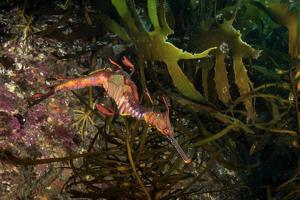 Seadragon Photograph - Weedy Sea Dragon, Tasmania, Australia by Brandi Mueller