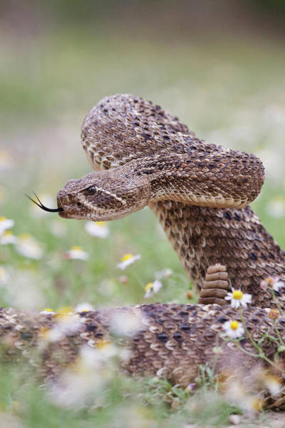 Brown County Photograph - Western Diamondback Rattlesnake by Larry Ditto