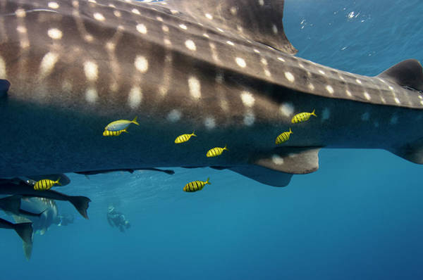 Trevally Photograph - Whale Shark And Golden Trevally by Pete Oxford