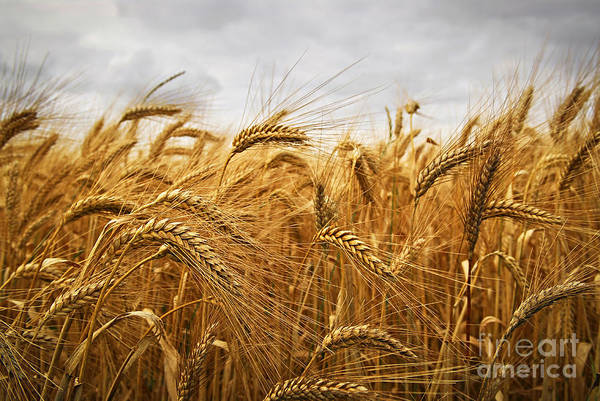 Wall Art - Photograph - Wheat by Elena Elisseeva