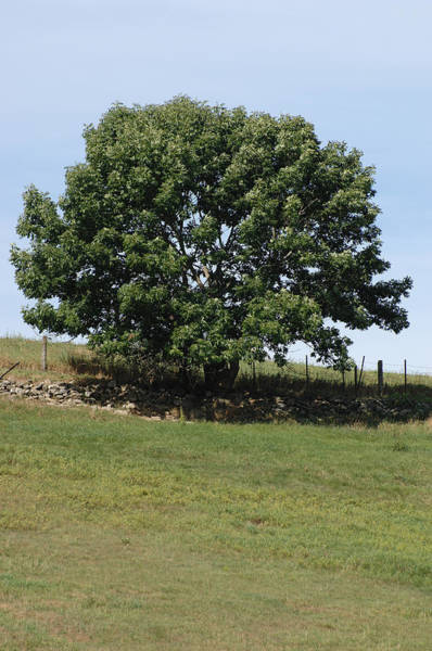 Wall Art - Photograph - White Ash Tree In Summer by John W. Bova