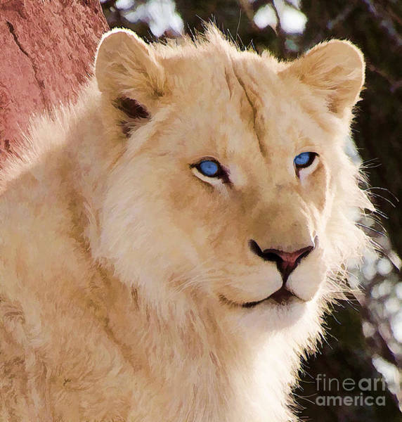 Photograph - White Lion With Blue Eyes by Les Palenik