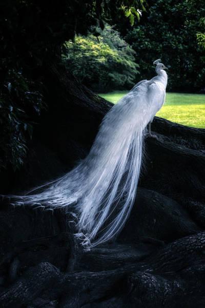 Peacock Photograph - White Peacock by Joana Kruse