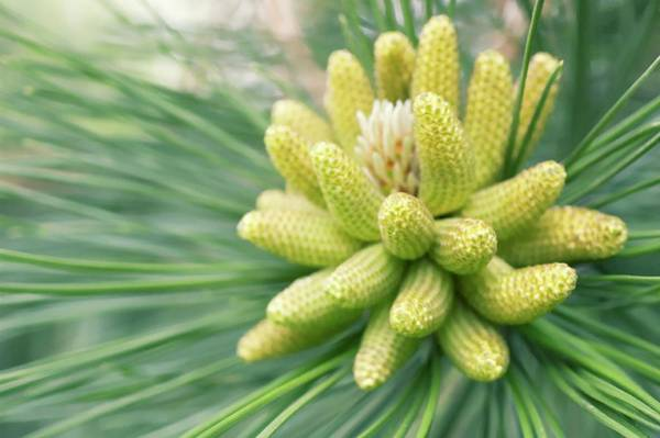 Pine Needle Photograph - White Pine (pinus Strobus) by Maria Mosolova/science Photo Library