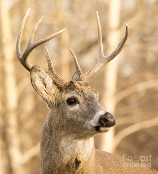 Photograph - White-tailed Buck by Gary Beeler