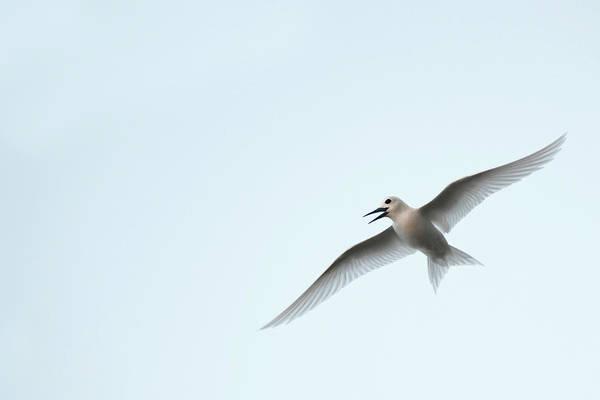 Conserved Photograph - White Tern (gygis Alba Rothschildi by Daisy Gilardini