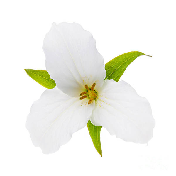 Wall Art - Photograph - White Trillium Flower  by Elena Elisseeva