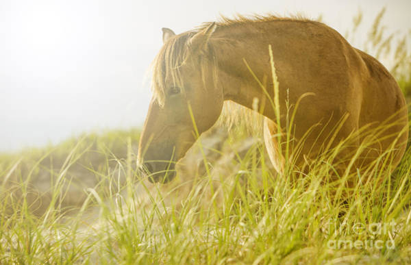 Corolla Photograph - Wild Horse On The Outer Banks by Diane Diederich