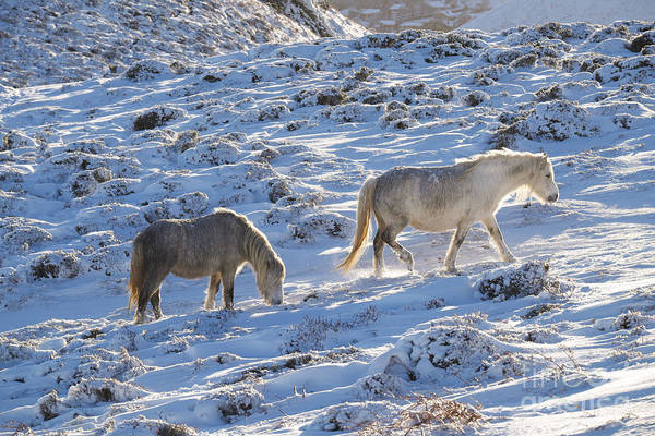 Church Stretton Wall Art - Photograph - Wild Ponies On The Long Mynd by John Hayward
