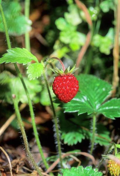 Wall Art - Photograph - Wild Strawberry (fragaria Vesca) by Bruno Petriglia/science Photo Library