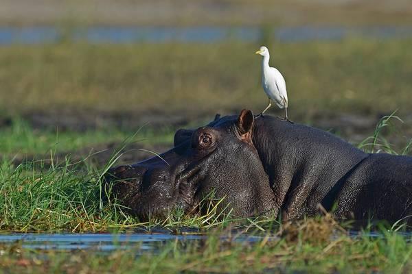 Hippo Photograph - Wildlife Of Chobe Natiobal Park by Winfried Wisniewski