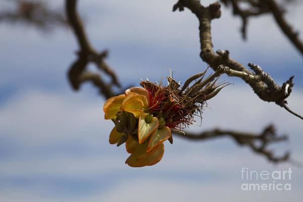 Photograph - Wiliwili Flowers - Erythrina Sandwicensis - Kahikinui Maui Hawaii by Sharon Mau