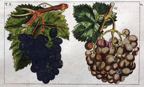 Juicy Drawing - Wine Grapes, Vine, Agriculture, Fruit, Food And Drink by English School