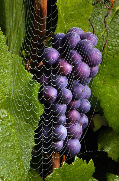 Photograph - Wine In A Web by Jean Noren