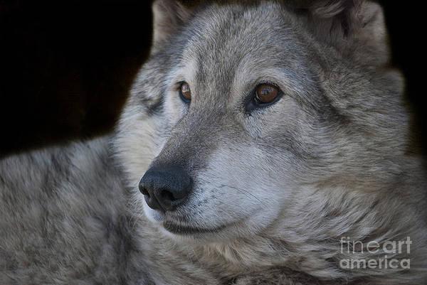 Amber Photograph - Wolf by Juli Scalzi