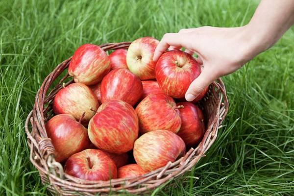 Malus Photograph - Woman Picking Apples by Thomas Fredberg