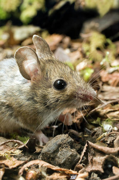 Long Tail Photograph - Wood Mouse by John Devries/science Photo Library
