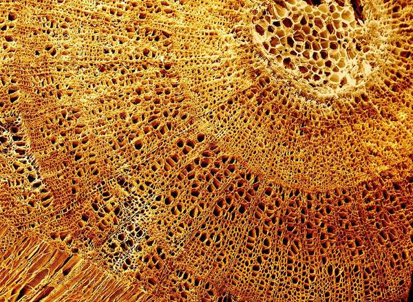 Wall Art - Photograph - Wood Structure by Clouds Hill Imaging Ltd/science Photo Library