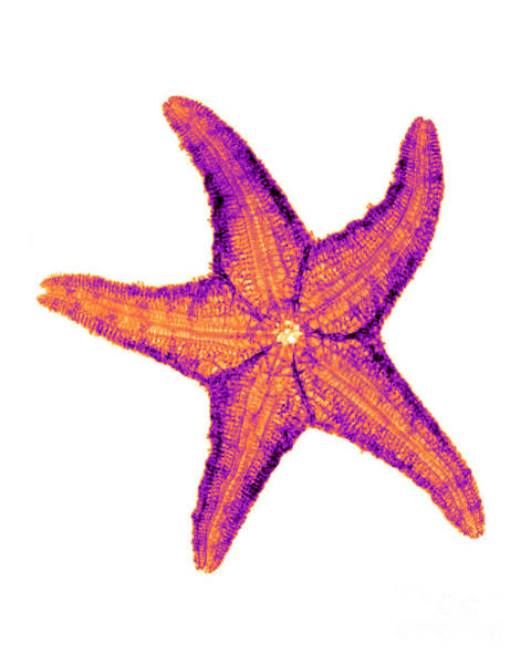 Photograph - X-ray Of Starfish by Bert Myers