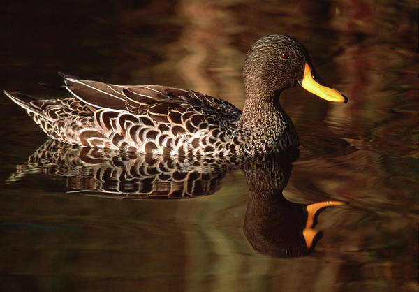 Wall Art - Photograph - Yellow-billed Duck by Tony Camacho/science Photo Library