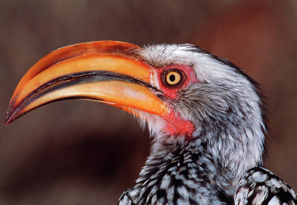 Hornbill Photograph - Yellow-billed Hornbill by Tony Camacho/science Photo Library