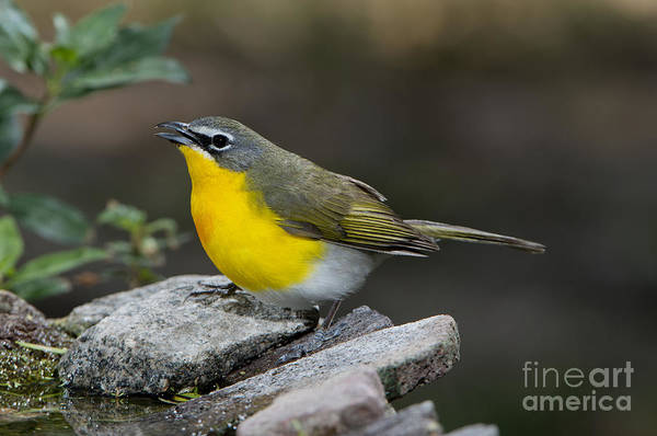 Parulidae Photograph - Yellow-breasted Chat by Anthony Mercieca