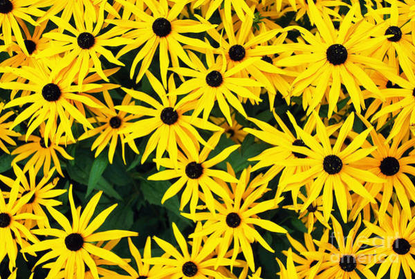 Photograph - Yellow Daisies by Bill Thomson