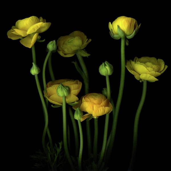 Photograph - Yellow Ranunculus by Photograph By Magda Indigo