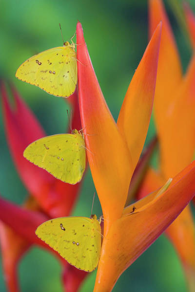 Heliconia Wall Art - Photograph - Yellow Sulfur Butterfly by Darrell Gulin