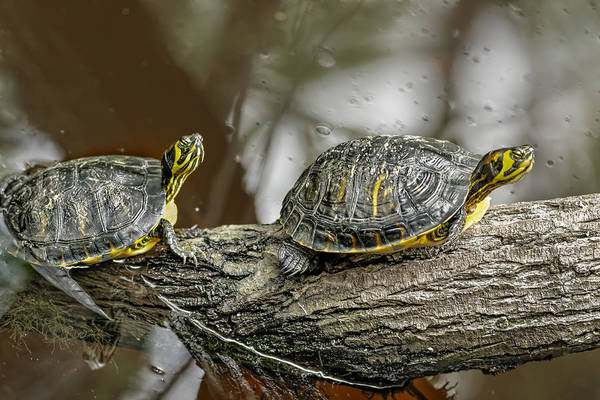 Photograph - Yellow Tail Turtle by Peter Lakomy