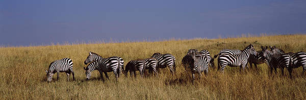 Wall Art - Photograph - Zebra Migration, Masai Mara National by Animal Images