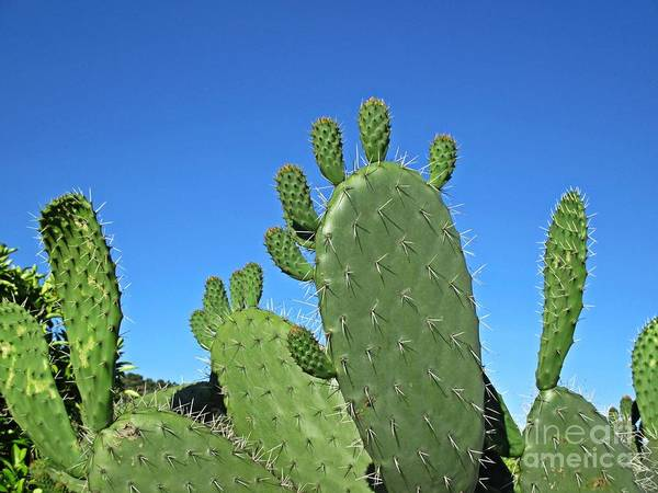 Photograph - Cacti by Chani Demuijlder