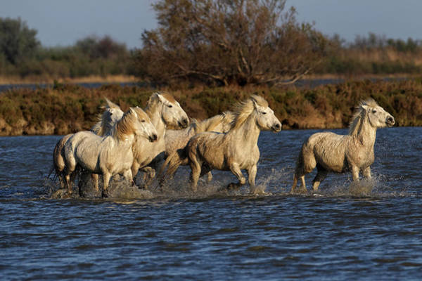 Wall Art - Photograph - Camargue Horses Running Through Marshy by Adam Jones