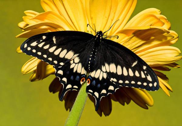 Wall Art - Photograph - Eastern Black Swallowtail Butterfly by Millard H. Sharp