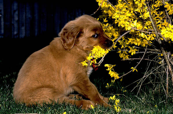 Service Dog Photograph - Golden Retriever by William H. Mullins