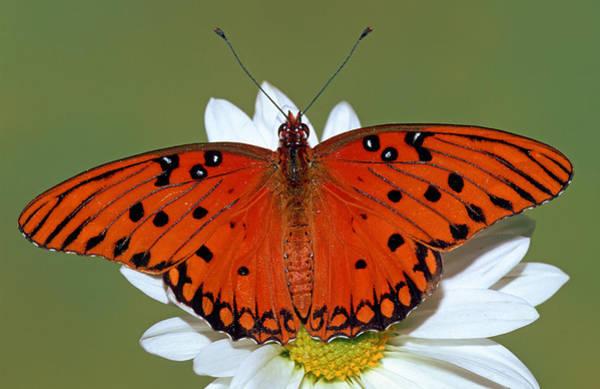 Dione Photograph - Gulf Fritillary Butterfly by Millard H. Sharp