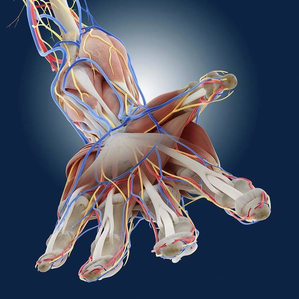 Wall Art - Photograph - Hand Anatomy by Springer Medizin/science Photo Library