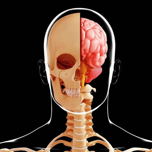 Head And Shoulders Photograph - Human Anatomy by Pixologicstudio/science Photo Library