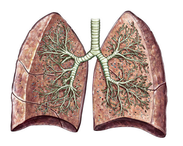 Lung Photograph - Lungs by Asklepios Medical Atlas