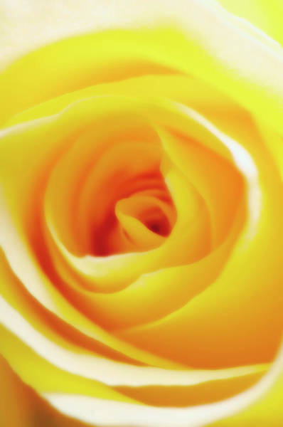 Wall Art - Photograph - Rose Flower (rosa Sp.) by Maria Mosolova/science Photo Library