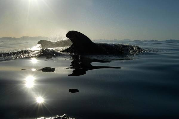 Wall Art - Photograph - Short-finned Pilot Whales by Christopher Swann/science Photo Library