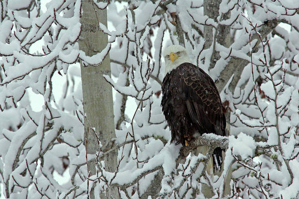 Haliaeetus Leucocephalus Photograph - Usa, Alaska, Chilkat Bald Eagle Preserve by Jaynes Gallery