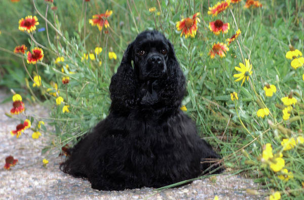 Cocker Spaniel Photograph - 2000s Black Cocker Spaniel Puppy Dog by Animal Images