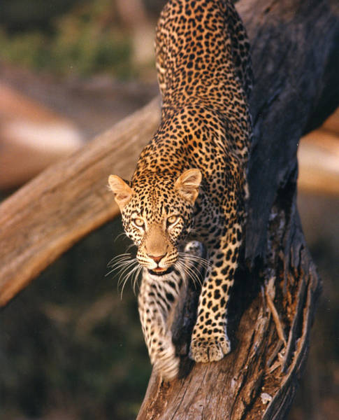 Photograph - 2012 Leopard Climbing Down Tree by Chris Maher