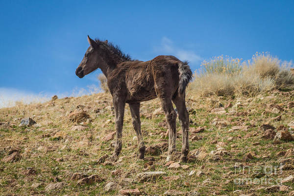 Mare And Foal Photograph - 2014 Mustang by Mitch Shindelbower